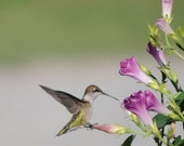 Hummingbird Instant Download Nature Photography, Wall Art, Interior Design