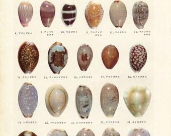 1959 Sea Shells Vintage Print