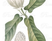 MAGNOLIA Instant Download, white magnolia flowers, wedding clipart, antique botanical illustration no.395