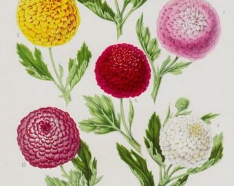 Antique print, 1863 Amazing CHRYSANTHEMUM lithograph, daisy, Autumn chrysanthemums, original antique botanical print