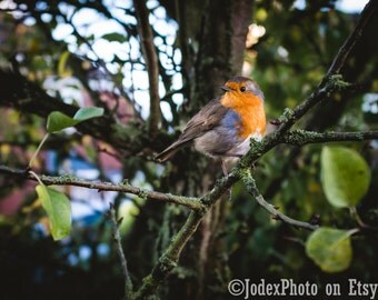 Fine Art Bird Photography 'Robin' Redbreast British Garden Bird Photograph Print 7x5, 8x10 or 20x16 Wall Art Home Decor
