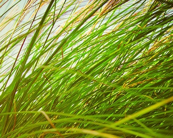 Tall Grass Photography Art Print, Green and Gold Wall Art, Botanical Home Decor, Nature Photography, Wind Blown