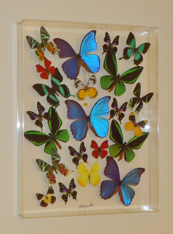15x20x2 butterfly display framed butterflies mounted butterflies butterfly