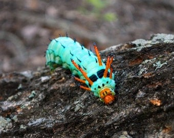 Nature Photography, Hickory Devil Horned Caterpillar, Macro Photography, Caterpillar Photography,