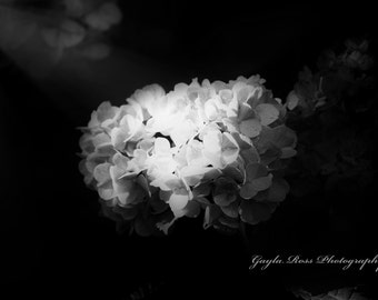 Hydrangea Photography,Floral Photgraphy,Botanical Photography,Flower Photography,Nature Photography,Spring,Black and White Flower Wall Art