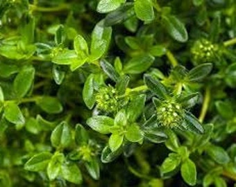 Summer Savory Seeds, Satureja Hortensis, Culinary Herb, Annual Plant, French Cooking