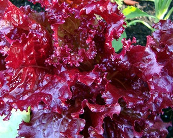 Ruby Red Lettuce - 100 seeds (Organic/non-GMO)