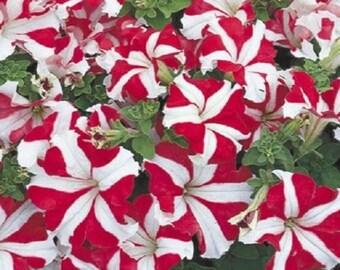 50 Pelleted Petunia Seeds Ultra Red Star Seeds