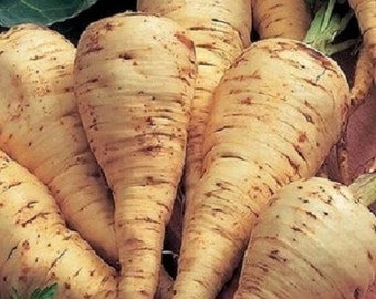 1,000 Harris Model Parsnip Seeds VEGETABLE SEEDS