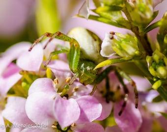 Pink Flower Spider, Watching, Waiting.