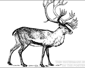 24x36 Poster; Caribou Illustration