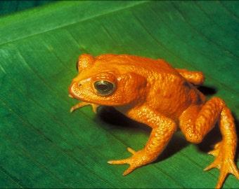 24x36 Poster; Golden Toad Bufo Periglenes
