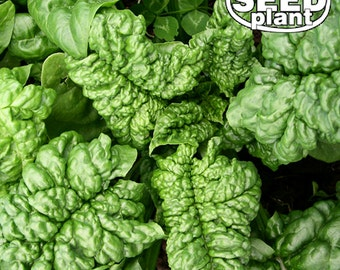 Bloomsdale Spinach Seeds 100 SEEDS NON-GMO