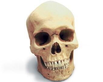 Human Male Replica Skull