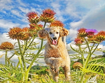 Apricot Poodle through thistle field