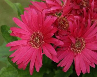 vibrant pink gerber daisy photo