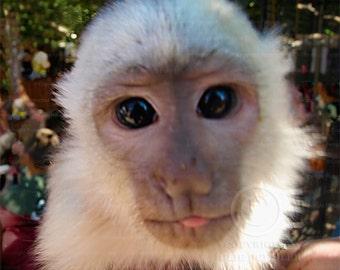 Photo: Capuchin Monkey 3, Tongue Sticking Out, Nature photography, Animal Photo, Wall Decor photo, Fine Art Photography Print [tan] [whi]