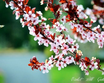 Flower Photography/Nature Photography/Cheery Blossom/Fine Art Photography/Still Life Photography/,Spring Blossom/Pink/Tree Flower/Wall Art