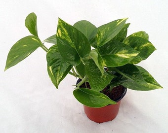 "Golden Devil's Ivy - Pothos - Epipremnum - 4"" Pot - Very Easy to Grow   (FREE SHIPPING)"