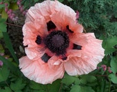 Perennial: POPPY 'ORIENTAL 100+ Seeds, Pink, Large Blooms, Colorful, Beauty, Easy To Grow - High Germination, Fresh Seed