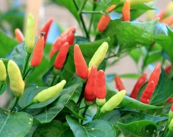 Wild West Organics Heirloom Organic Tabasco Pepper Seeds