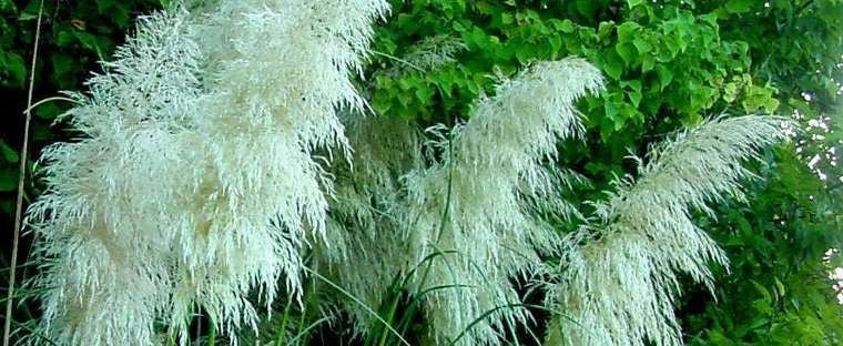 White pampas grass cortaderia selloana live evergreen for Ornamental grass with white plumes