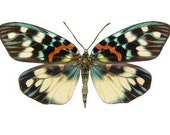 Erasmia pulchera Real Moths, Spread for your project or laminated or unmounted
