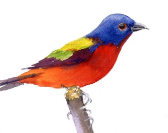 Painted Bunting 2 painted in watercolor and printed on Arches hotpress paper.