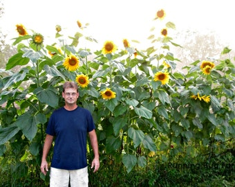 GMO Free Sunflower Seeds Natural Sunflower Seeds Non GMO Flower Seeds Summer Flower Garden Safe Seed Pledge Eco Friendly Chemical Free / 50