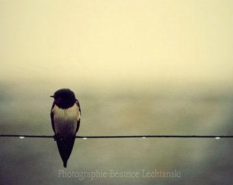 Swallow... Bird photograph. Fine art photography print 21 x 29,7 cm ( 8,3 x 11,7)