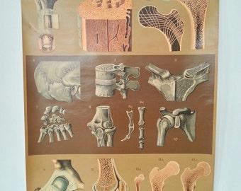 50s SCHOOL Chart Bone Connections / pull down original 1950s biology print on canvas / anatomy skeleton anatomical human skull body