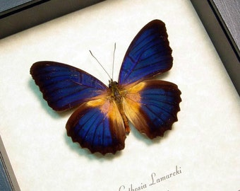 Real Framed Cethosia Lamarcki Butterfly Shadowbox Display 8281