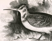 1840s-1850s Antique Engraving of the Woodcock - Bird Print