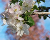 Apple Blossoms in Springtime