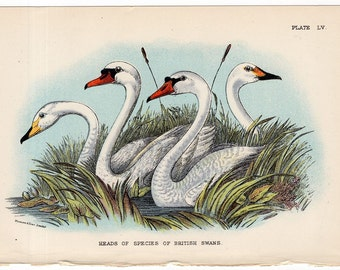 1895 swan print original antique bird ornithology lithograph - heads of species of british swans