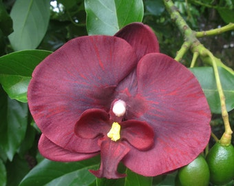 Hawaiian Wine Orchid  hair Flower clip