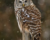 "Custom order for Darla Johnson , Barred Owl, hunting in the snow, photographic 5x7"" archival print"