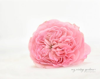 pink garden rose - flower photography -flower photo-garden photography (5 x 7 Original fine art photography prints) FREE Shipping)