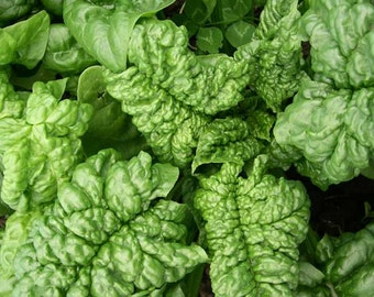 Organic Bloomsdale Spinach Seeds