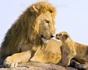 Safari Nursery Art, BABY LION and DAD Photo, Baby Animal Photography, Wildlife Photograph, Child Room Decor, Nursery Wall Art, Fathers Day