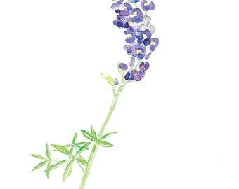 Texas Bluebonnet, wildflower Art Print