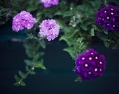 Purple Haze - 8x10 Fine Art Photograph, Purple, Flowers, Garden, Spring, Nature