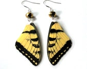 Eastern Tiger Swallowtail Butterfly Earrings with Faceted Gold Crystal, Real Butterfly Wing Earrings