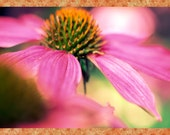 "Pink Echinacea bloom, photo notecard, 5.5""x4.25"", blank."