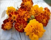 French Marigold Exclusive Custom Mixed Heirloom Flower Seeds Companion Plants Organically Grown Pest Control