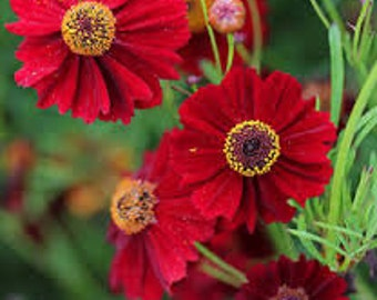 Coreopsis Tall Brilliant Red Annual Flowers Cutting Garden Fresh Bouquets Water Wise Flower Seeds