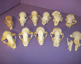 11 real animal skull beaver raccoon bobcat fox bone taxidermy skeleton tooth head part damage G -26