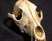 Coyote Skull rubber accessory