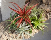 Deluxe Air Plant 5 Pack-Tillandsia Assortment.