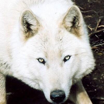 Sunwolfy